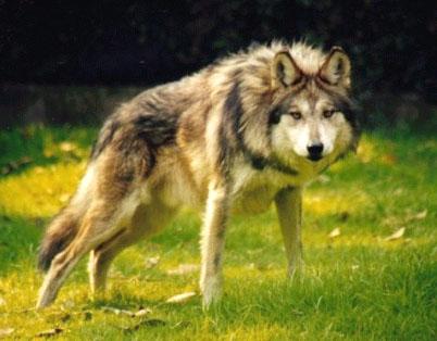 ägyptischer Wolf
